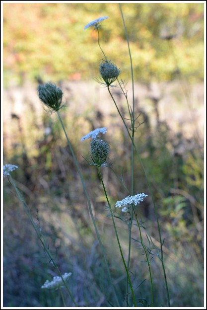 Queen Anne's Lace 10-20-17