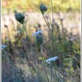 写真: Queen Anne's Lace 10-20-17
