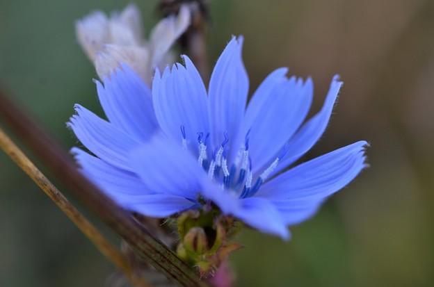 Chicory II 10-20-17