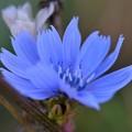 写真: Chicory II 10-20-17