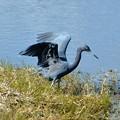 写真: Little Blue Heron III 1-7-18