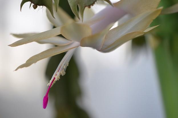 写真: Belated Holiday Cactus 1-26-18