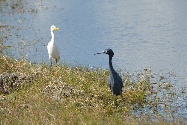 Little Blue Heron and Cattle Egret 1-7-18