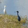 写真: Little Blue Heron and Cattle Egret 1-7-18