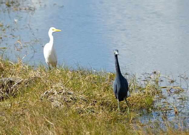Photos: Curious Little Blue Heron 1-7-18