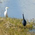 写真: Curious Little Blue Heron 1-7-18