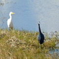 Curious Little Blue Heron 1-7-18