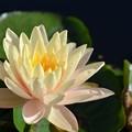 写真: Water Lily I 2-25-18