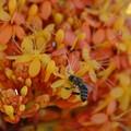 写真: Hutch and Sorrowless Tree Flowers 2-25-18