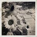 写真: Sunflowers 3-11-18