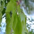 写真: Young Leaves 2-25-18