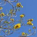 Caribbean Trumpet Tree 3-11-18