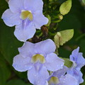 Photos: Thunbergia laurifolia 3-11-18