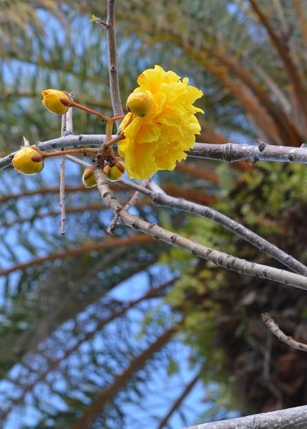Double Buttercup Tree II 2-25-17