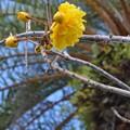 Photos: Double Buttercup Tree II 2-25-17