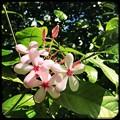 写真: Shrub Vinca 7_iPhone7_Hipstamatic340_Ruddy Lens and Love 81 Film
