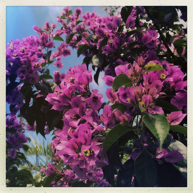 Tree Bougainvillea III 3-11-18
