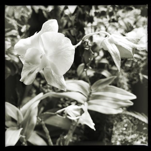 写真: Dendrobium Jairak Sweet III 3-11-18