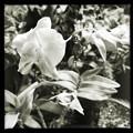 Dendrobium Jairak Sweet III 3-11-18