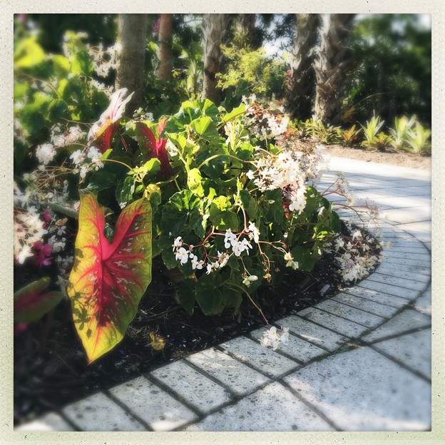 The Path with Elephant Ears and Begonias 3-18-18