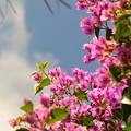 写真: Tree Bougainvillea II 3-11-18