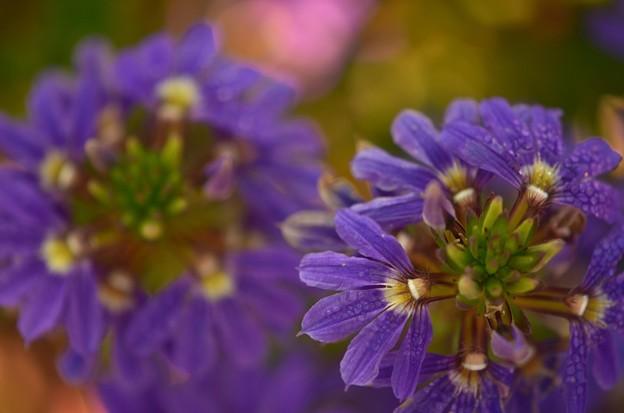 Fairy Fan-Flower 3-18-18
