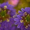 写真: Fairy Fan-Flower 3-18-18