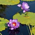Purple water Lily II 3-18-18