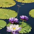 写真: Water Lily 3-18-18