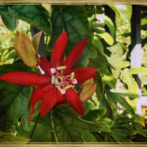 Scarlet Passion Flower I 3-18-18