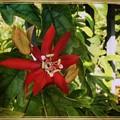 写真: Scarlet Passion Flower I 3-18-18