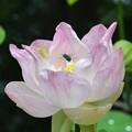 写真: Lotus hybrid and a Cuckoo wasp 5-16-18