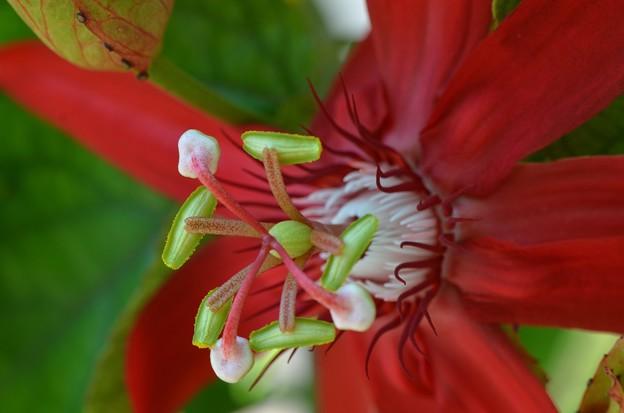 Scarlet Passion Flower IV 3-18-18