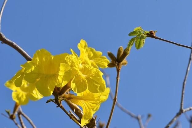 Golden Trumpet Tree 4-8-18