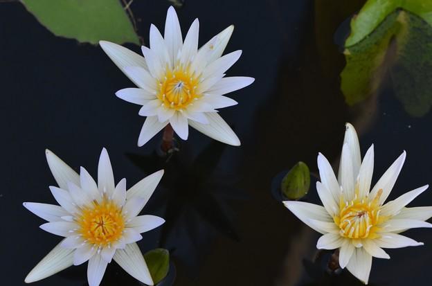 Three Water Lilies I 4-8-18