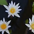 写真: Three Water Lilies I 4-8-18