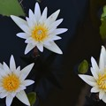 Photos: Three Water Lilies I 4-8-18