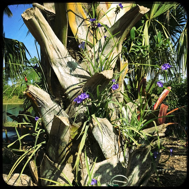 Palm and Spiderworts 4-8-18