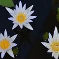 写真: Three Water Lilies II 4-8-18