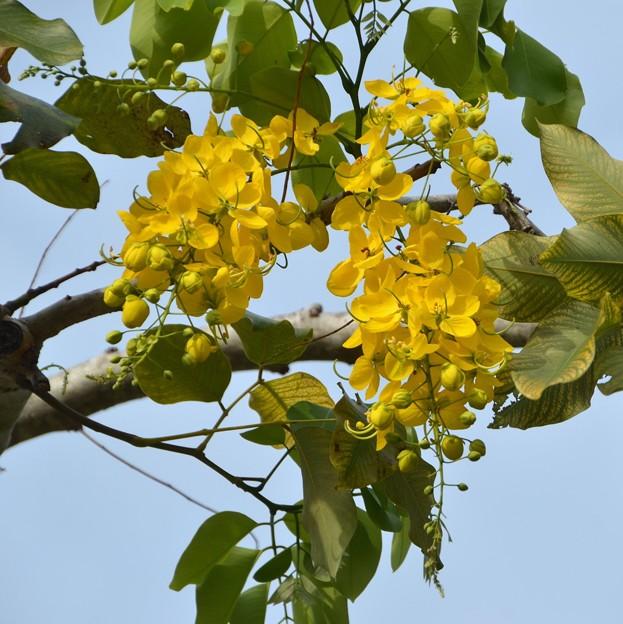 Golden Shower Tree IV 4-21-18
