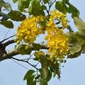 写真: Golden Shower Tree IV 4-21-18