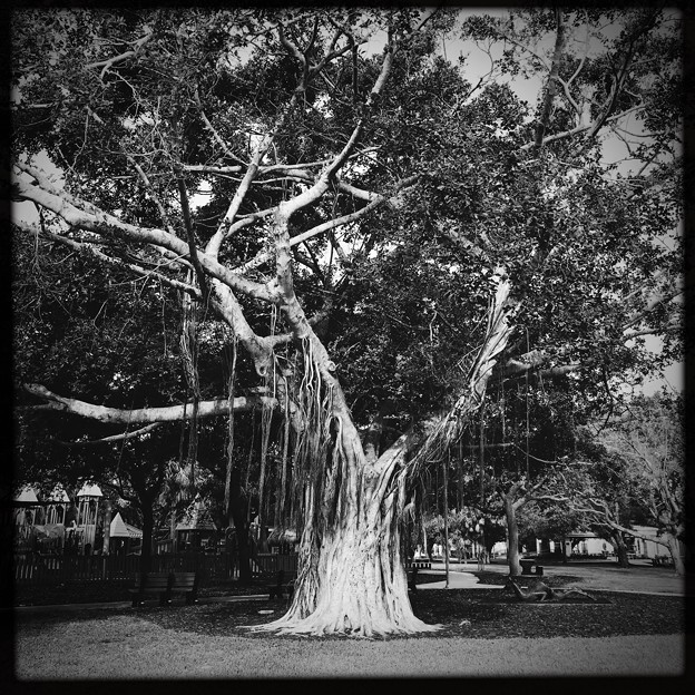 写真: Banyan Tree 4-21-18