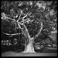 Banyan Tree 4-21-18