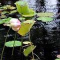 写真: Lotus in the Rain 5-16-18