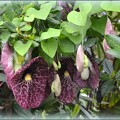 写真: Aristolochia gigantea 5-16-08