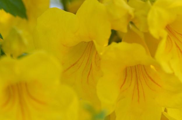 Yellow Elder 4-29-18