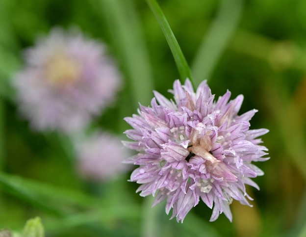 Chives 5-16-18