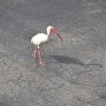 White Ibis 6-10-18