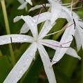 写真: String-Lily 5-16-18