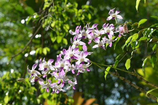 Dendrobium 6-3-18